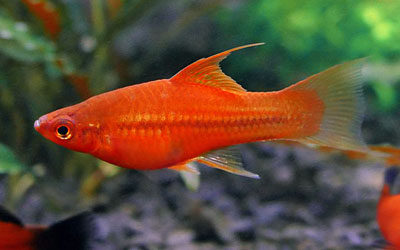 swordtail-fish-survive-without-filter